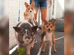 PHOTO: Pattie Pig and her canine best friends Pickles and Paprika need to be adopted together. They are available at Animal Rescue League of Berks County, Birdsboro, Pa.