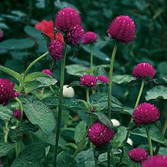 """Gomphrena """"All Around Purple""""--Sunset tips: Rich magenta flowers pop against bright green leaves, and its thin, strong stems make it great for drying. Showy annual reaches 2 feet and can hold its own in a container or create a sultry contrast against deep burgundy foliage."""