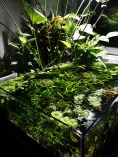 """Tom's Bucket O Mud"" A beautiful semi self sustaining aquarium (Aquatic ecosystem) style palladarium created by an aquarium hobbiest. See complete story at plantedtank.net: http://www.plantedtank.net/forums/showthread.php?t=150555"