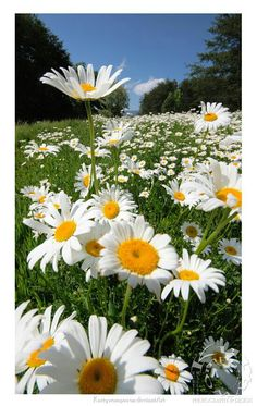 Wild Flowers Inspiration : SHASTA DAISY: Perennial Blooms summer - fall Blooms in clumps from 2 to.tn - Leading Flowers Magazine, Daily Beautiful flowers for all occasions Sunflowers And Daisies, Love Flowers, Wild Flowers, Beautiful Flowers, Daisy Flowers, Yellow Daisies, Beautiful Gorgeous, Wedding Flowers, Margaritas Shasta