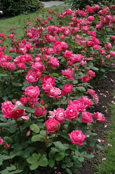 Double Knock Out Rose (Rosa 'Double Knock Out') at Oakland Nurseries Inc
