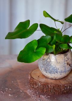 Heart Fern Plant Hemionitis arifolia Live Plant Ships in - Modern Patio Plants, Indoor Plants, Exotic House Plants, Evergreen Ferns, Ferns Care, Types Of Ferns, Banana Plants, Plant Order, Fern Plant