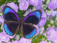 Blue and Black Butterfly on Lavender Flowers, Sammamish, Washington, USA Photographic Print by Darrell Gulin at Art.com