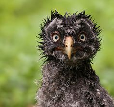 """'Lapinpöllö' (2011) photographed by Matti Suopajärvi who wrote """"Great Grey Owl ( Strix nebulosa ) youngster about 4 weeks 22.6.2011, Tervola, Finland."""" via mattisj on flickr Owl Bird, Funny Owls, Funny Animals, Angry Animals, Cute Animals, Farm Animals, Bad Hair, Gray Owl, Animal Pictures"""