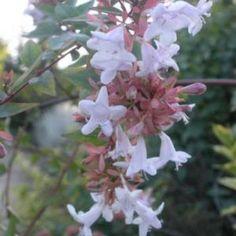 Abelia floribunda - Abelia