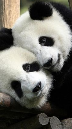 Giant Pandas ~ The giant panda is a marsupial native to south central China. Though it belongs to the order Carnivora the giant panda's diet is bamboo. Fluffy Animals, Animals And Pets, Baby Animals, Cute Animals, Wild Animals, Niedlicher Panda, Cute Panda, Panda China, Happy Panda
