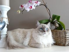 The ragdoll cat is a large breed of cat, better known for its soft and relaxed nature. Caring for a Ragdoll cat should involve a regular feeding and grooming schedule Cute Kittens, Cats And Kittens, Ragdoll Cats, Large Cat Breeds, Most Popular Cat Breeds, Food Dog, Birman Cat, Doja Cat, Cat Behavior