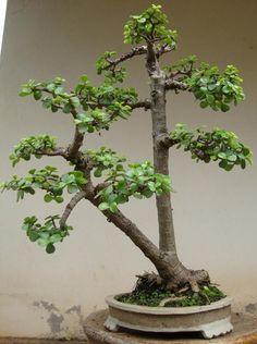 Portulacaria afra bonsai Jade Bonsai, Succulent Bonsai, Bonsai Plants, Bonsai Garden, Succulents, Bonsai Trees, Plantas Bonsai, Dream Garden, Home And Garden