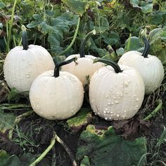 Pumpkin Specter - An early maturing off-white pumpkin with a lightly warted, medium round fruit. Specter fruit have firmly attached handles and are produced by plants with intermediate resistance to Powdery Mildew. From NGB member Harris Seeds Types Of Pumpkins, Small Pumpkins, White Pumpkins, All Vegetables, Organic Vegetables, Flower Seeds, Flower Pots, Flowers, Powdery Mildew