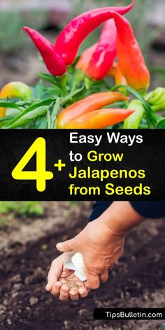A bell pepper has no heat at all and a habanero is burning hot, but jalapenos are just right. Learn how to sow your own jalapeno pepper seeds indoors before the last frost for the best germination before transplanting them outdoors. #howto #grow #jalapenos #seeds Growing Jalapenos, Natural Insecticide, Backyard Farmer, Starting Seeds Indoors, Pepper Plants, Pepper Seeds, Gardening Tips, Vegetable Gardening