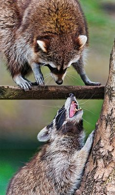 Raccoon argument