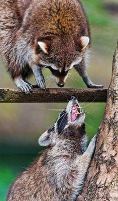 Raccoon argument