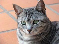 Kissa, Juovikas Kissa, Pet, Kissaeläin