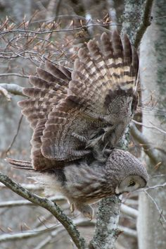 This is the color and texture of an owl wing that showed up a few weeks ago in a meditation.  It was pressed against the inside of my face, then it become my face and then I disappeared, becoming the night sky around the wing. m.vinny Great grey owl