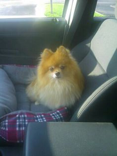 19 Action News reporter Paul Orlousky's dog Pandy running errands with him in the car!