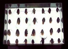 Caixa das Baratas (1967). Lygia Pape