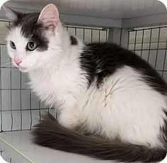 Pictures of Molly a Domestic Mediumhair for adoption in Waynesville, NC who…