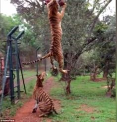 The video shows the incredible spring jump of a tiger at a South African nature reserve