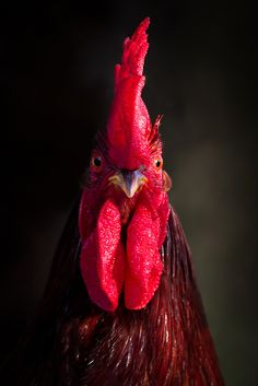O Rei Galo. King of the hen house Hen Chicken, Chicken Art, Chicken Eggs, Chicken Coops, Farm Animals, Cute Animals, Photo Animaliere, Chickens And Roosters, Tier Fotos