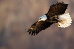 Eagles On The Mississippi: Winter is a hot time for bird watching. | Missouri Conservationist  www.marsportmall.com
