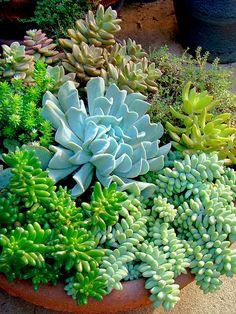 Echeveria 'Topsy Turvy' with sedums in a dish garden