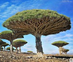 Dragonblood, Yemen These mushroom-like trees grow in abundance in the island of Socotra off the coast of Yemen. They are known as dragonblood due to their red sap, which appears to look like blood.
