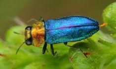 http://i.livescience.com/images/i/18633/original/jewel-beetle-blue.JPG
