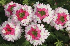 LANAI TWISTER PINK VERBENA  Want to try something that will give your garden and containers a whole new look, Lanai Twister Pink is it! rich green disease free foliage, and outstanding garden performance. Twister Pink thrives in the heat and humidity, blooming heavily from spring until a hard frost. Try it as a weed-smothering groundcover, or in mixed containers. Deer hate it. Very different than any other Verbena. Sun annual.