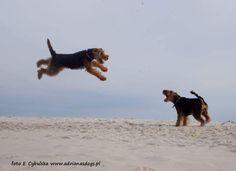 Welsh Terriers on the beach. Watch them soar! By E. Cybulska
