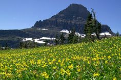 Picture of Reynolds Mtn and yellow Glacier lilies at Logan Pass in Glacier National Park