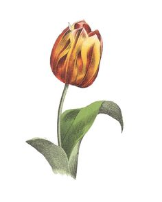 Tulip print, Botanical poster, Vintage paper print, A3 A4 ,Home Office decor, Floral Art, Botanic Home decor Nature Flowers Cute post card  Welcome to COALSTORE.ETSY.COM  The poster is an excellent decoration for your home or office. All prints have good quality, the original image -