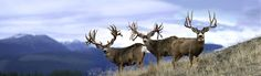 World Record Mule Deer | ... what a dream shot all three of the largest mule deer in the world in