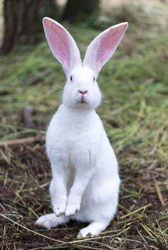 Rabbit by Vadim - Photo 56273632 / Cute Bunny Pictures, Rabbit Pictures, Animal Pictures, Animals Photos, Animals And Pets, Baby Animals, Funny Animals, Cute Animals, Albino Rabbit
