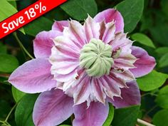 Clematis Josephine is one of the showiest double flowering vines available