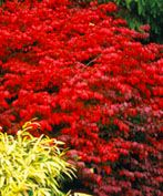 This Compact Burning Bush is Very Cold Hardy When you need a shot of red foliage in your garden in the fall, burning bush is your go-to plant. The Burning Bush Fire Ball (Euonymus alatus 'Fire Ball') starts off brilliant green in the spring. Garden Shrubs, Flowering Shrubs, Trees And Shrubs, Lawn And Garden, Garden Plants, Garden Landscaping, Red Shrubs, Full Sun Shrubs, Flowering Bushes Full Sun