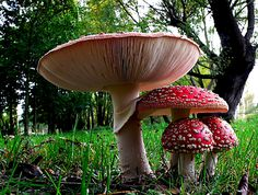 https://flic.kr/p/oRo1Vy | Fly agaric. | Amanita muscaria, commonly known as the fly agaric or fly amanita, is a mushroom and psychoactive basidiomycete fungus, one of many in the genus Amanita. Native throughout the temperate and boreal regions of the Northern Hemisphere, Amanita muscaria has been unintentionally introduced to many countries in the Southern Hemisphere, generally as a symbiont with pine plantations, and is now a true cosmopolitan species. It associates with various…