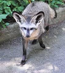 Bat-eared Fox - The Cincinnati Zoo & Botanical Garden Bat Eared Fox, Cincinnati Zoo, Botanical Gardens, Hanging Out, Mammals, Kangaroo, Image, Kangaroos