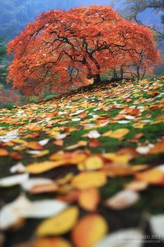 ~~Colorfall ~ a lonely maple tree in a sea of leaves, Oregon by Aaron Reed~~