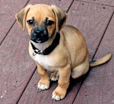 pug beagle mix. i want one!!!