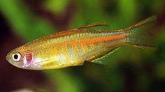 Danio choprae Tropical Aquarium, Saltwater Aquarium, Planted Aquarium, Tropical Fish, Tropical Freshwater Fish, Freshwater Aquarium Fish, Fish List, Brine Shrimp, Underwater Creatures