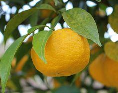 蒸餾的日本柚子精油