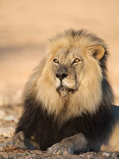 Blackmaned Lion (Panthera Leo), Kgalagadi Transfrontier Park, Northern Cape, South Africa, Africa