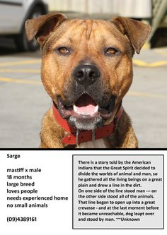 ADOPTED Sarge is a handsome mastiff x male dog looking for a forever home with no small animals at Whangarei SPCA www.whangareispca.co.nz