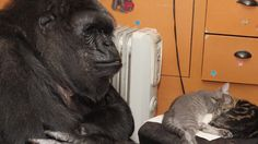 Communicating: This cradling motion is how Koko signifies the word baby, which she often signs,and carries her gorilla dolls the way gorilla mothers carry their babies