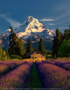Mt. Hood and lavende