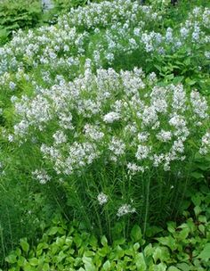 Amsonia hubrichtii threadleaf bluestar from North Creek Nurseries North Creek, Meadow Garden, Patio Plants, Plant Design, Summer Garden, Blue Flowers, Garden Landscaping, Perennials, Nursery