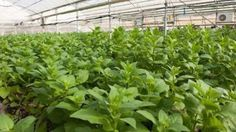 Ebola Vaccine A CollPlant tomato hothouse, used for 'growing' human collagen (Photo credit: Courtesy)