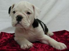 Victorian Bulldog Rescue | victorian bulldog puppies - group picture, image by tag ...