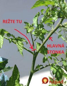 Myslite na to, keď začnú dozrievať rajčiny: Záhradkár ukázal, ako v júli pomôcť paradajkám k oveľa väčšej úrode!