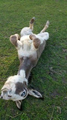 :o) This burro is so cute and funny. Gray and white burro rolling on the ground - Horses Funny - Funny Horse Meme - - The post :o) This burro is so cute and funny. Gray and white burro rolling on the ground appeared first on Gag Dad. Cute Baby Animals, Farm Animals, Animals And Pets, Funny Animals, Big Animals, Baby Donkey, Cute Donkey, Mini Donkey, Donkey Funny